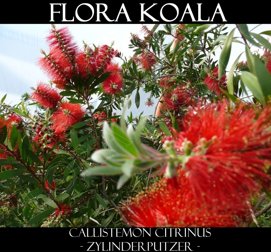 callistemon laevis zylinderputzer flora koala. Black Bedroom Furniture Sets. Home Design Ideas