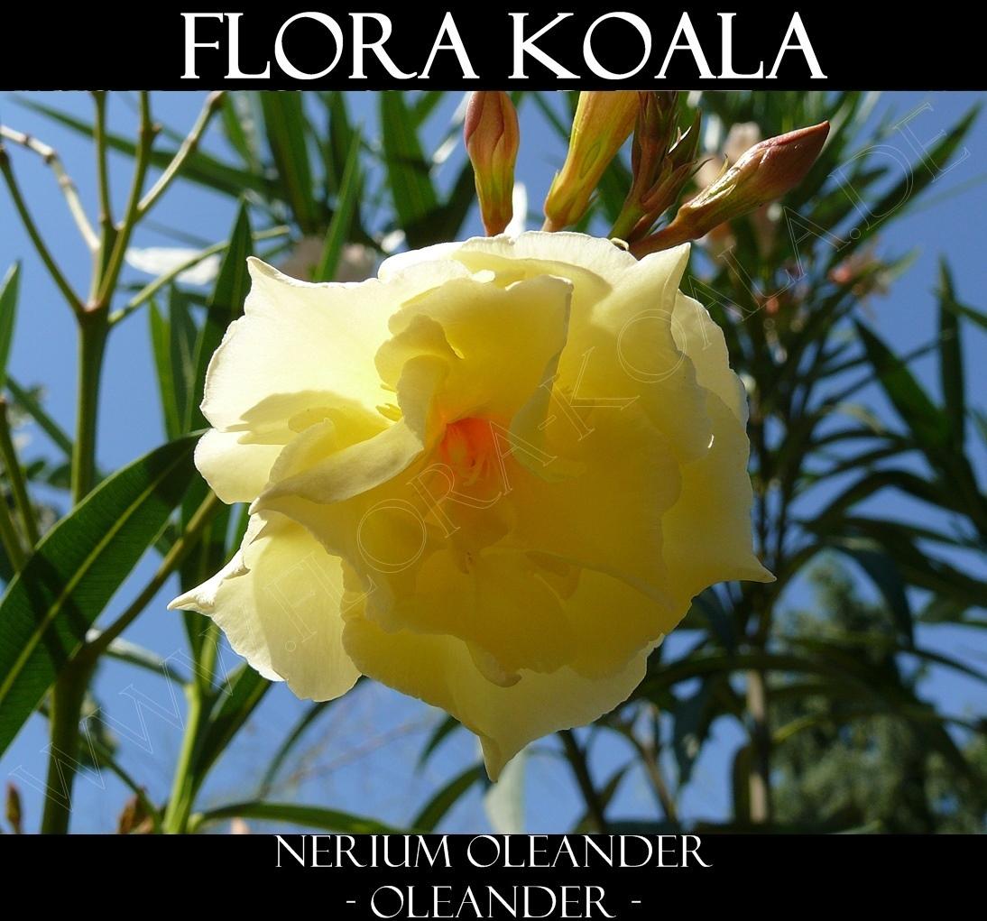 nerium oleander oleander gelb gef llt flora koala. Black Bedroom Furniture Sets. Home Design Ideas