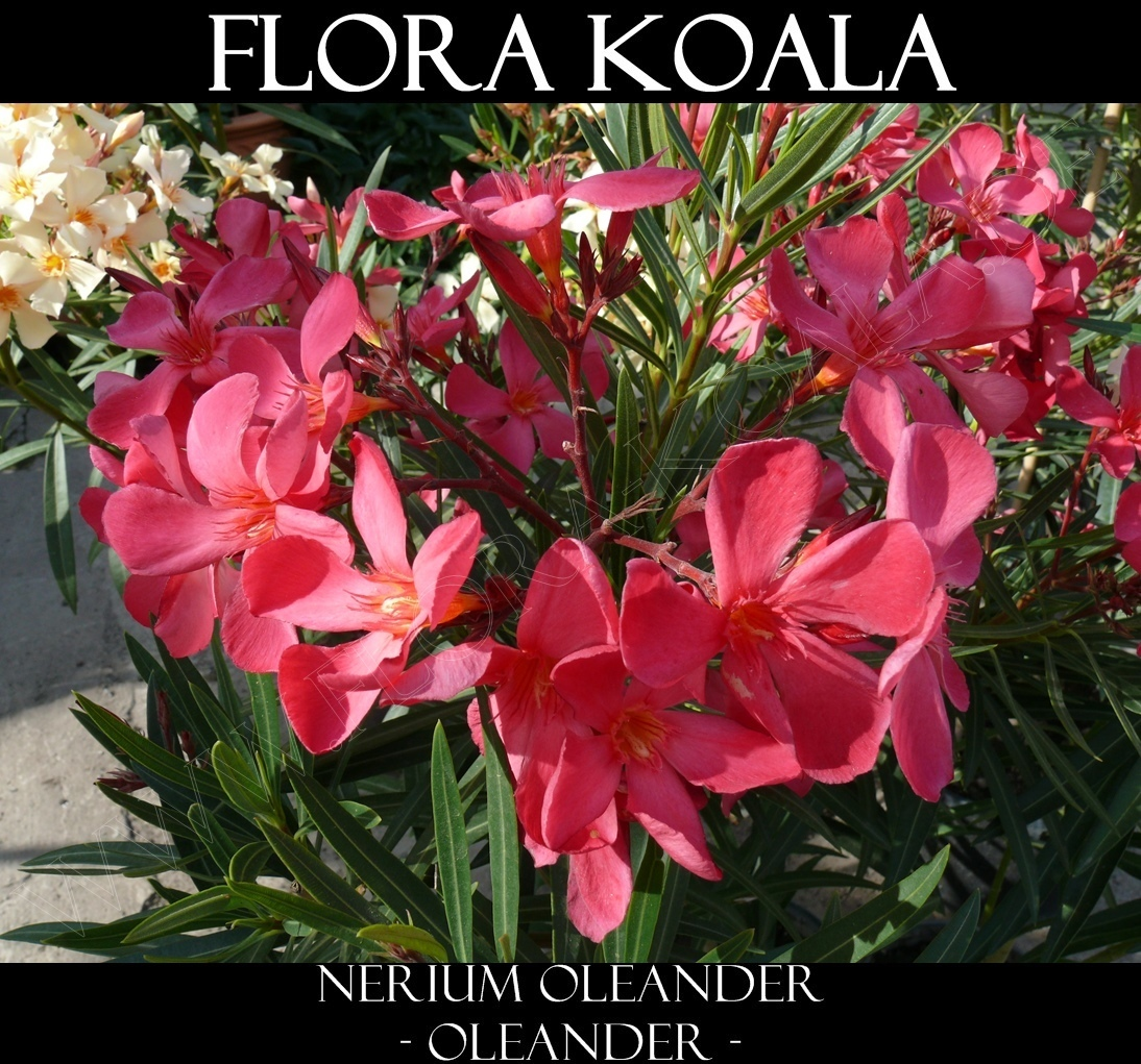 nerium oleander oleander rot x gelb flora koala. Black Bedroom Furniture Sets. Home Design Ideas